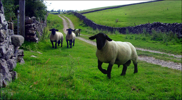 Sheep on a track North of Hetton