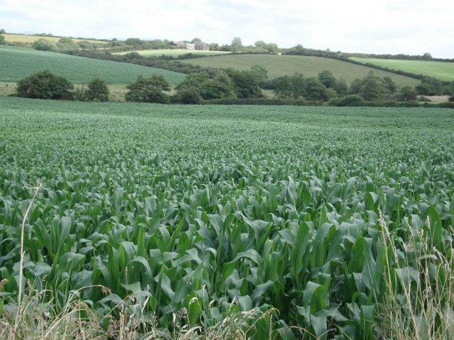 Field of maize near Pelcomb Bridge