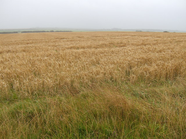 Barley near Pen y bank