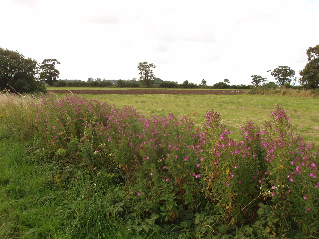Rose bay willow herb by the roadside in Norfolk