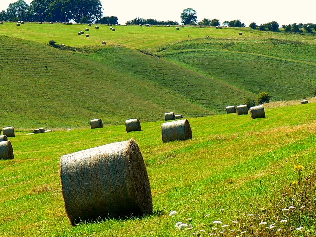 Silage awaiting the baler, near Little Cheverell