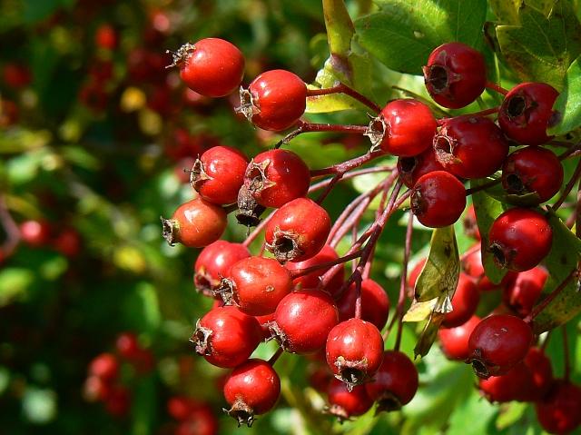 Hawthorn berries on a bridleway  near Little Cheverell