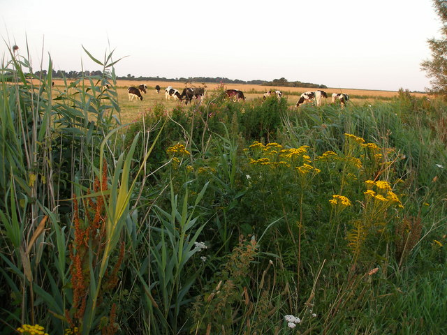 Cattle grazing and layby plants