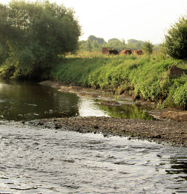 Cows grazing on River Dearne bank.