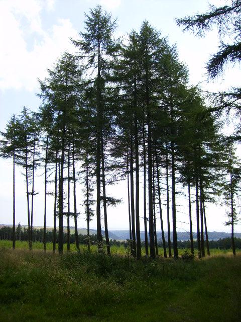 Cropton Forest looking towards Levisham Moor
