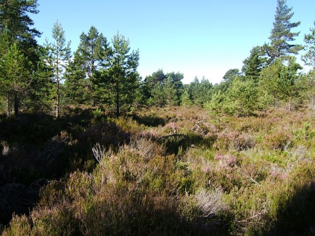 Deep heather in Abernethy Forest