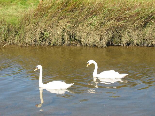 Elyrch dof ar Afon Braint.  Mute swans on Afon Braint