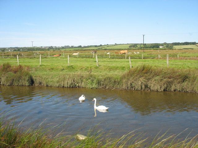 Elyrch a gwartheg yn Nyffryn Braint. Swans and cattle in the Braint Valley