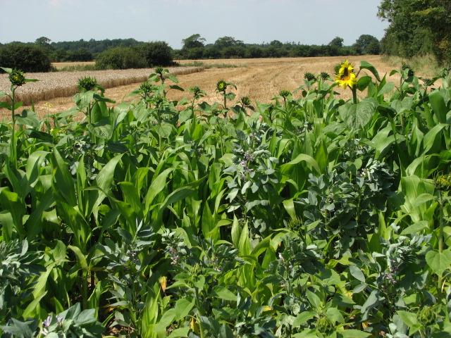 Mixed crop