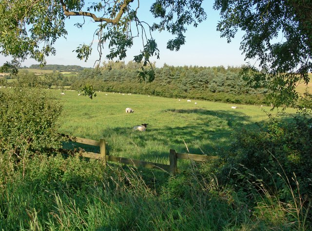 Grazing sheep south of the village of Owston