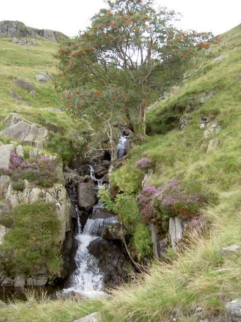 A fruitful Rowan by a waterfall