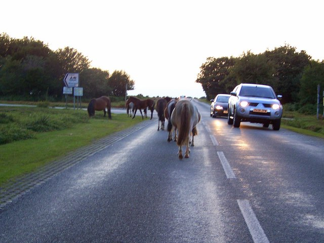 Evening rush hour in the New Forest