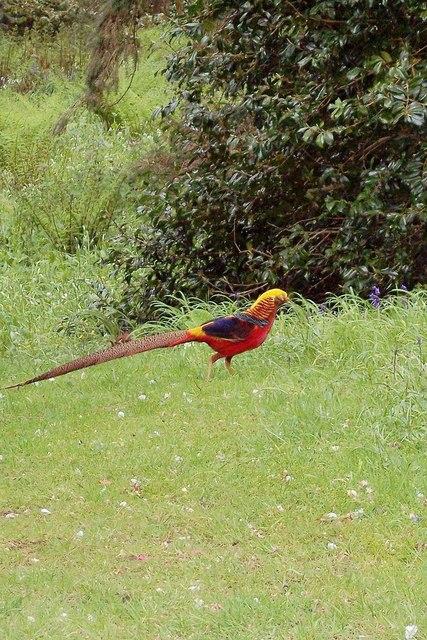 Golden Pheasant, Trevarno Gardens