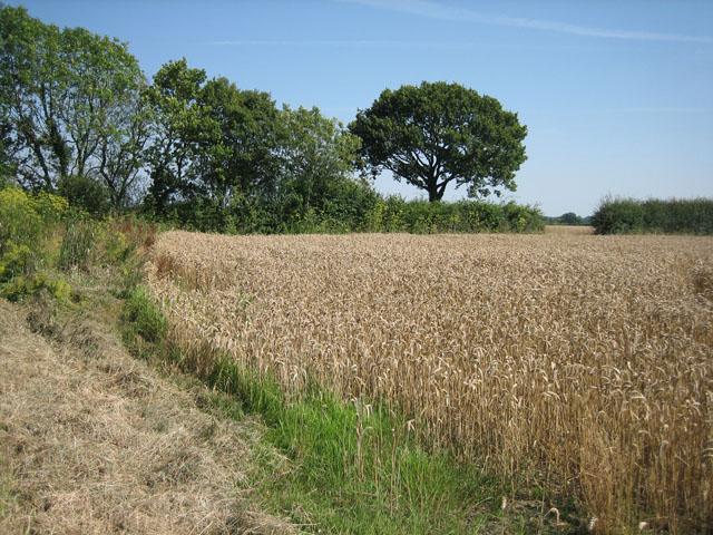 Corner of a wheat field  next to Honeypot Wood