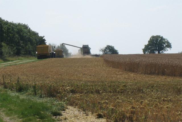 Combine harvester in wheatfield near Herne Hill Farm