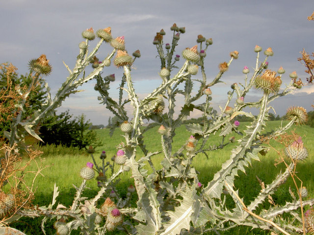 Spectacular thistles in the hedgerow.