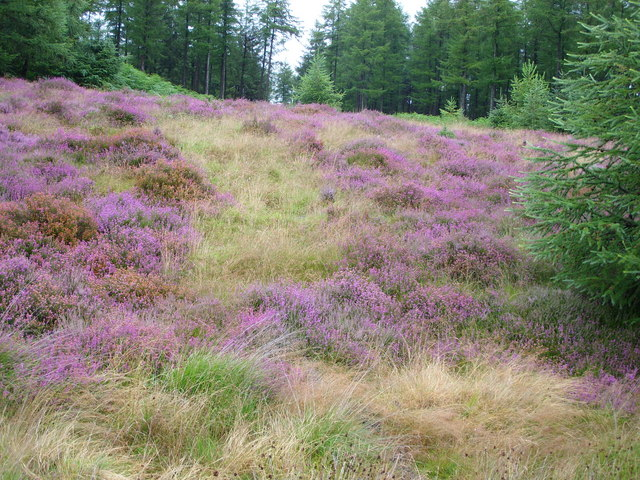 Heather on The Slopes of Glenhapple Fell