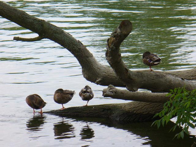 Ducks at Rest