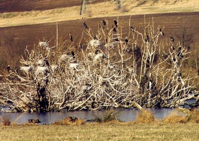 Cormorant roost, Newton Ings