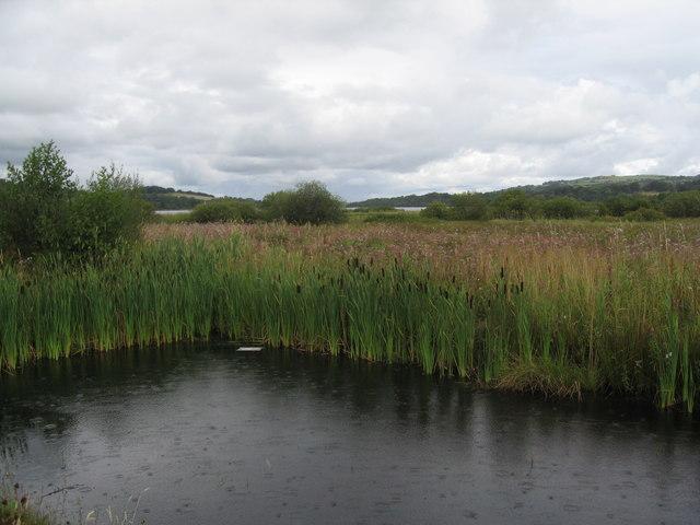 Great Reedmace, Lochwinnoch
