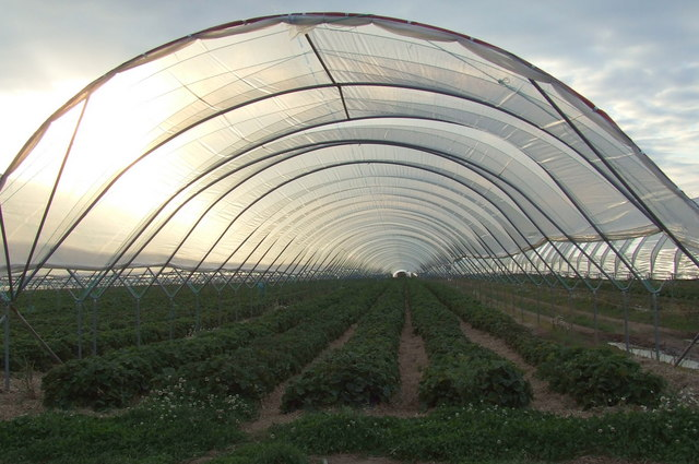 Strawberries in a polytunnel, East Scryne