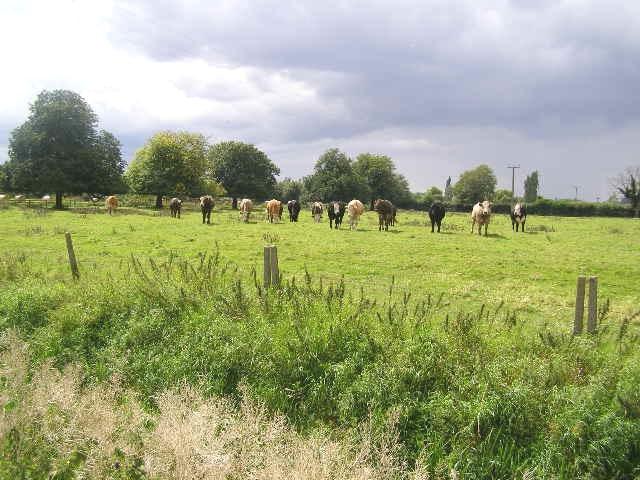 Inquisitive Bullocks