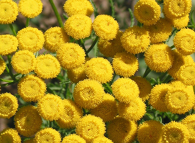Flowers of the Tansy plant