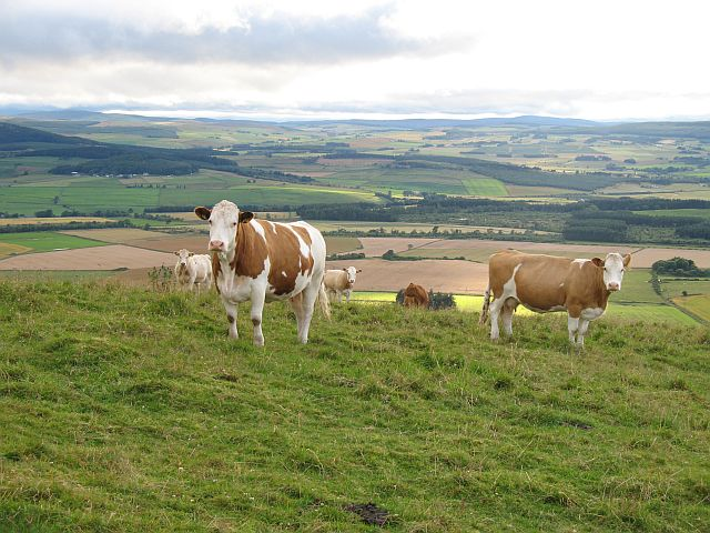 Cattle on the Fourman