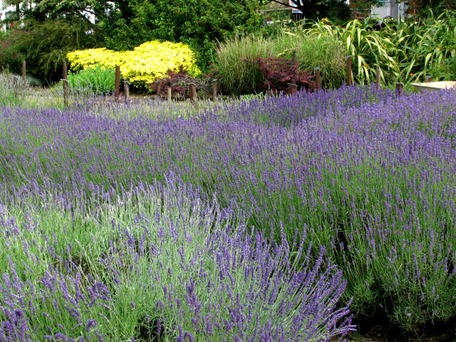 Gardens at Norfolk Lavender, Heacham