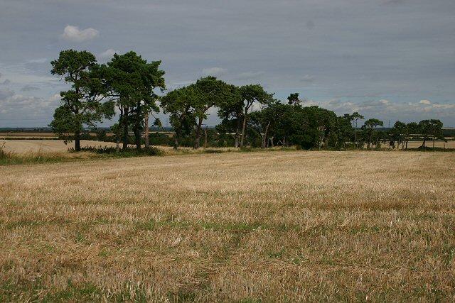 Trees near Wilbraham chalk pit