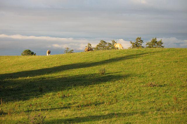 Cattle, Fourmanhill