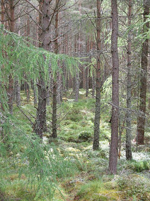 Inshriach Forest