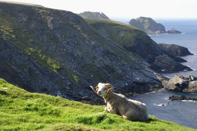 Ram on clifftop at the back of Skaw