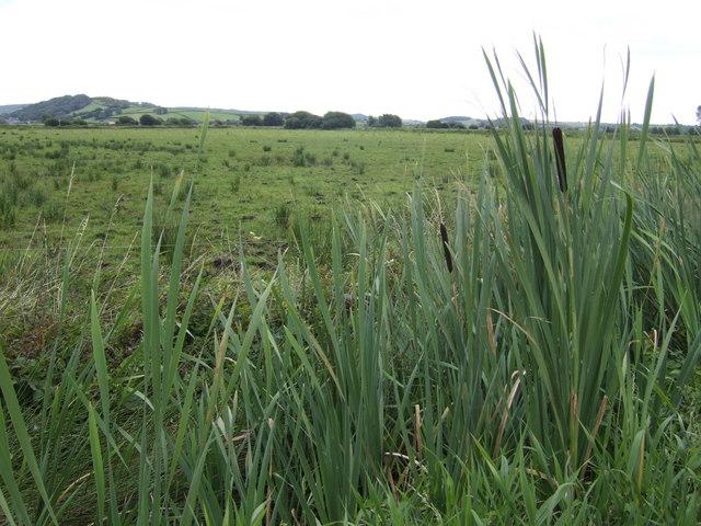 Bulrushes on the Sedge Moor