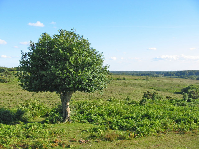 Lone Holly, near Mogshade Hill, New Forest, Hampshire.