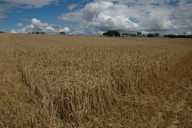 Wheatfield on Bredon Hill