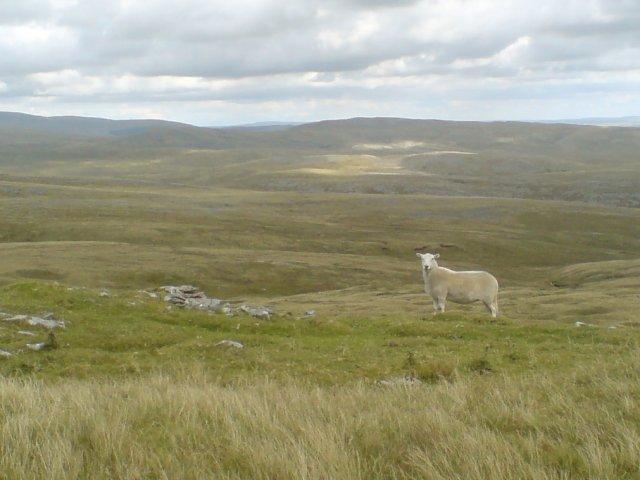 Sheep on the Black Mountain