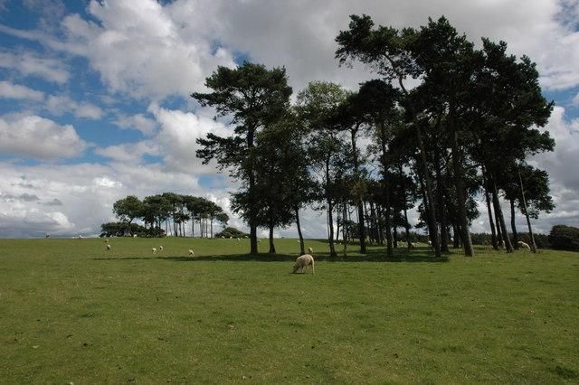 Scots Pine on Bredon Hill