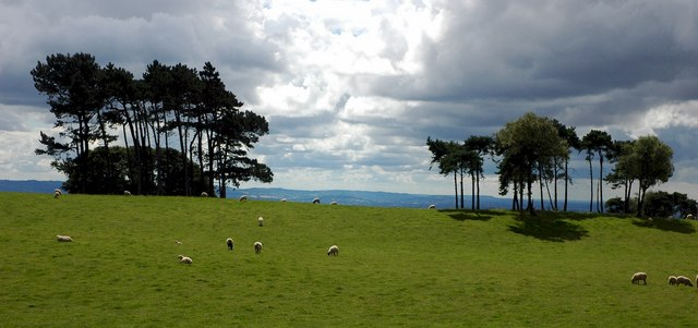 Scots Pine trees on Bredon Hill