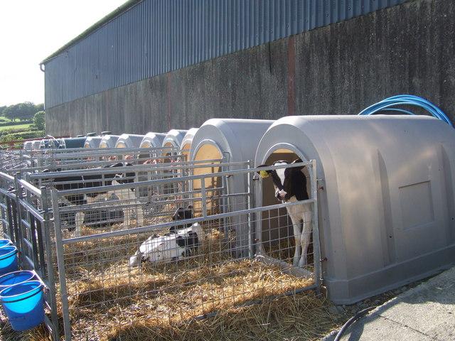Calves in crates, Pencwarre