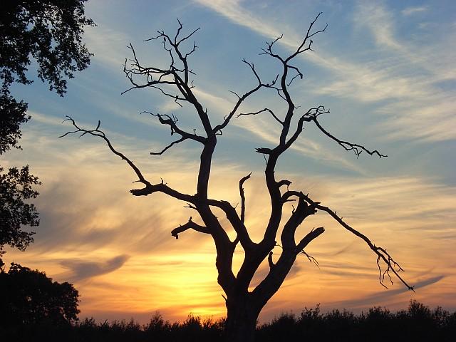 Dead tree, Shottesbrooke Park
