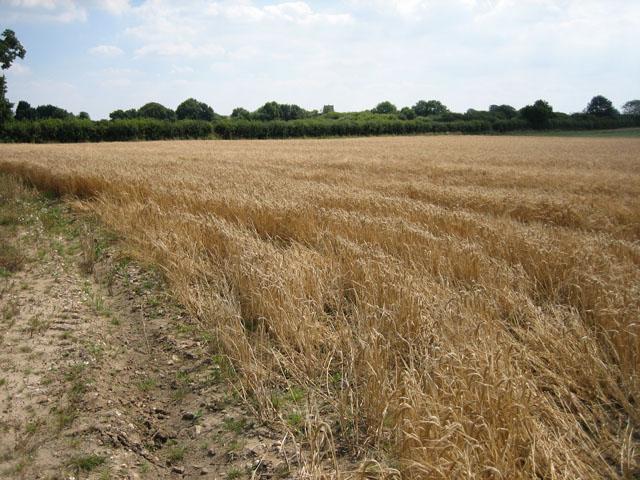Wheat field near Longham Hall