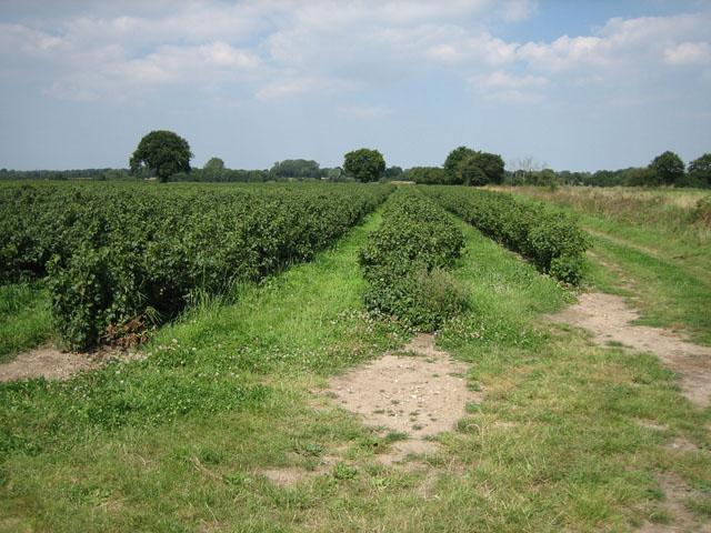 A healthy crop of blackcurrants