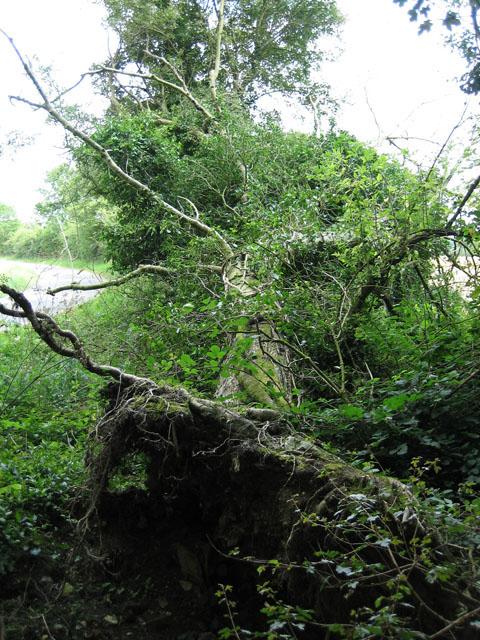 Fallen tree at edge of Horningtoft Wood