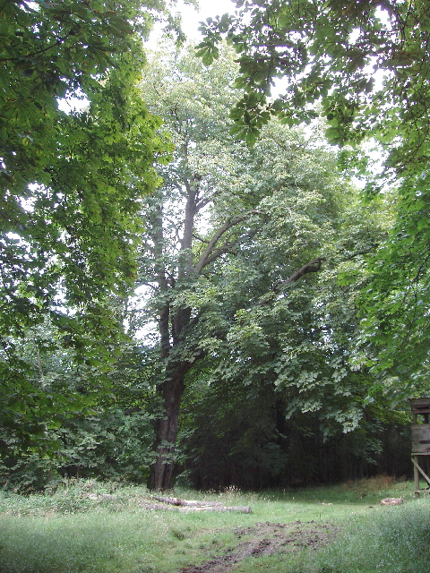 Horse Chestnut tree in wood at Old Pastures
