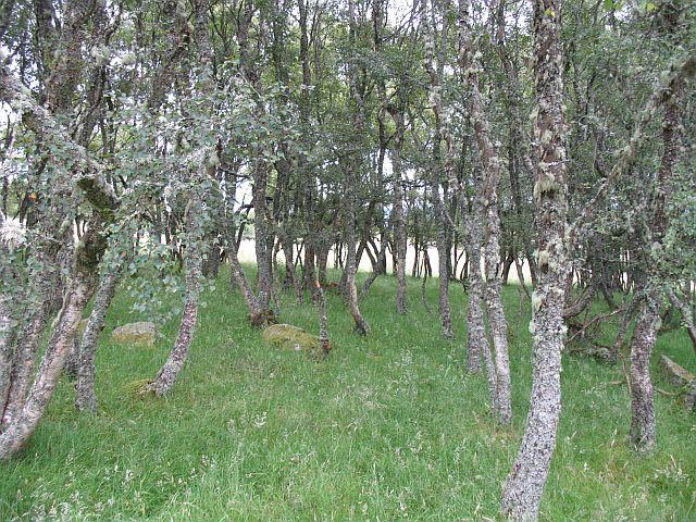 Birch lined field, Tombain