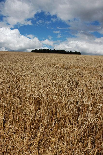 Wheatfield on Conderton Hill