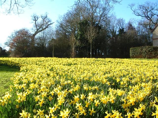 Spring daffs' in Broad Hinton