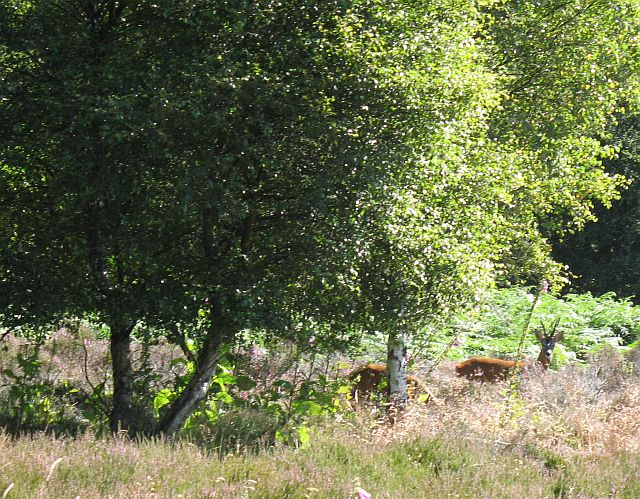 Roe deer, Littlewood Park