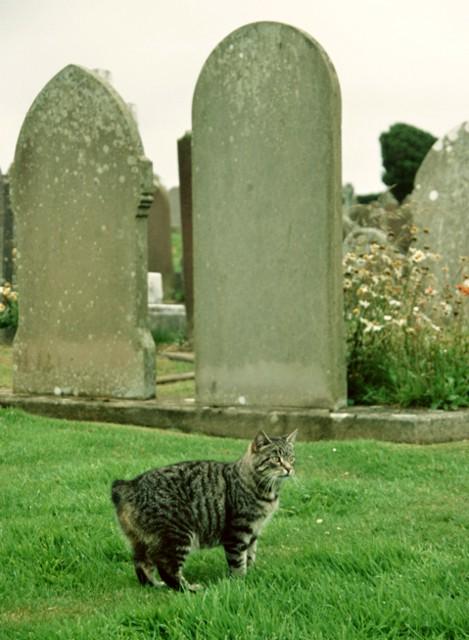 Manx cat, Maughold churchyard